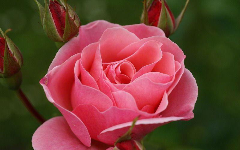 rose-wallpaper-red-03722.jpg